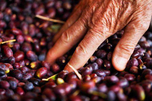 Black olives harvest