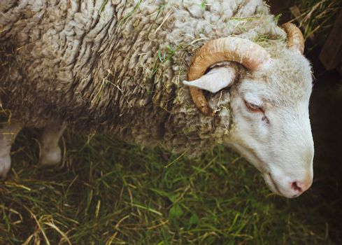 Closeup muzzle sheep standing on the green grass