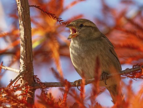 Female sparrow singing in the tree by autumn day, Montreux, Switzerland