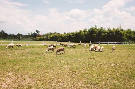 Herd of sheep on a farm  fields .