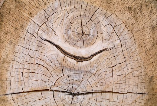 Dual core cross section of an old oak
