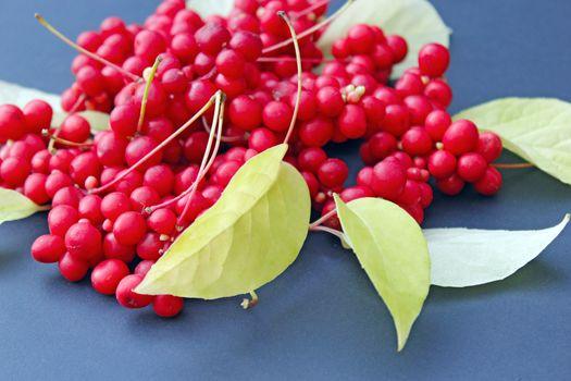 crop of schisandra