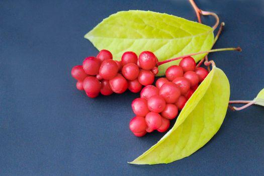 berries of schizandra on the dark background
