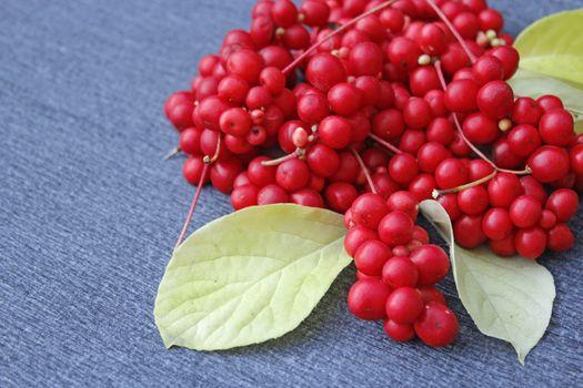 red berries of schisandra