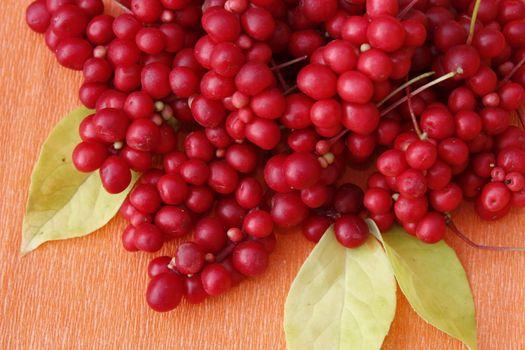 berries of schisandra