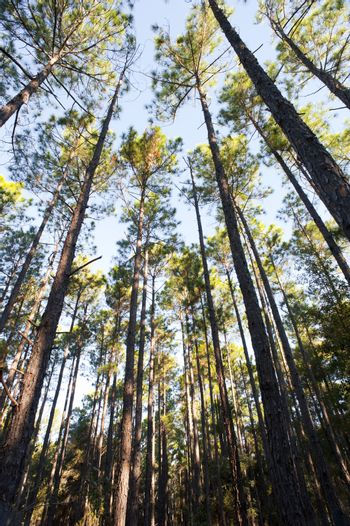 Forest plantation of thin tall trees