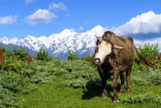 Alpine bull