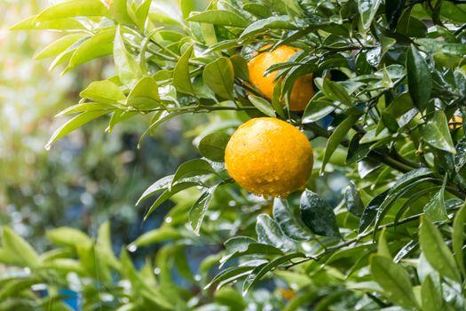 Ripe tangerines on tree in garden, when raining.
