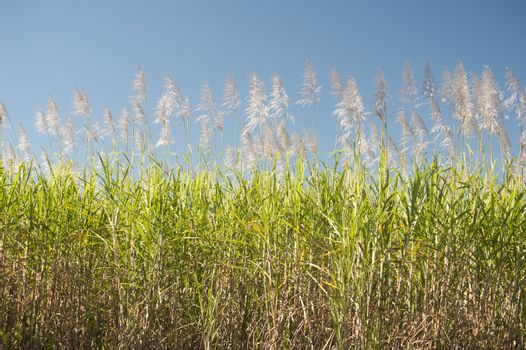 Sugarcane canes growing in an agricultural field