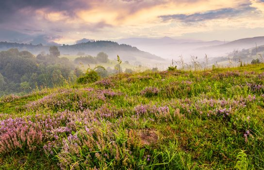 grassy hills with flavoring thyme at foggy sunrise