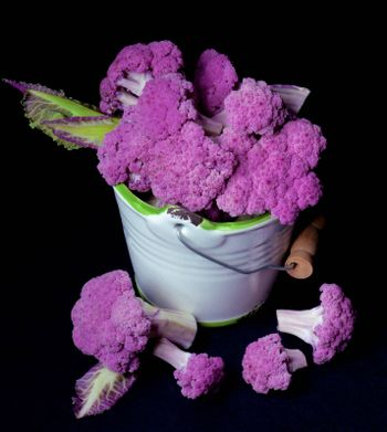 Fresh Raw Purple Sprouts of Cauliflower with Leafs in White Bucket isolated on Black background