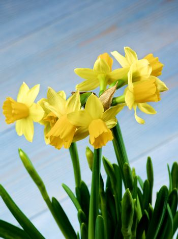 Seven Wild Yellow Daffodils with Green Leafs and Buds closeup on Blurred Blue background. Focus on Daffodils