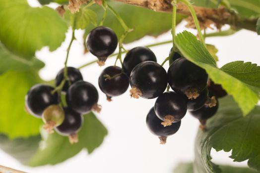Blackcurrant fruit full of vitamins