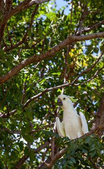 Cockatoo in Victoria Park in Dubbo New South Wales Australia