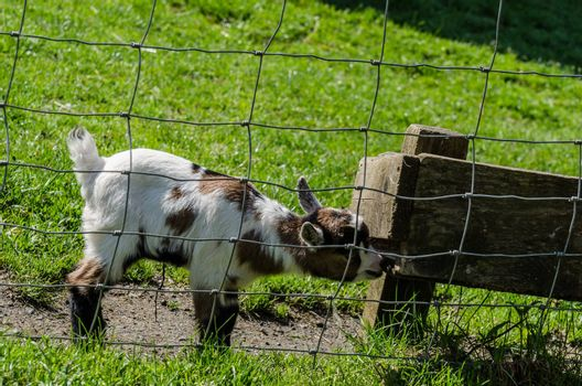 little baby goat playing in the zoo