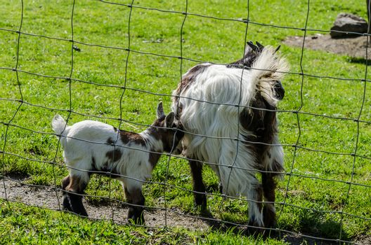 little baby goat with mother in zoo
