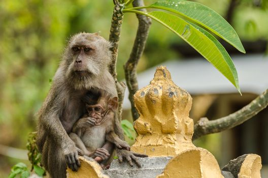 monkey and baby macaque in a temple