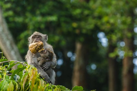 monkey with baby and feed in a temple in bali