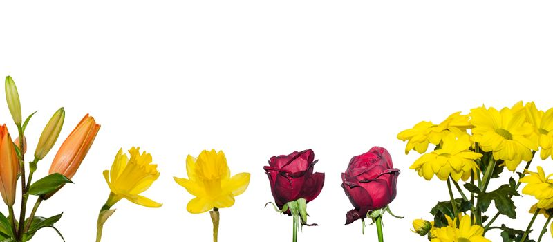 colorful flowers white background panorama