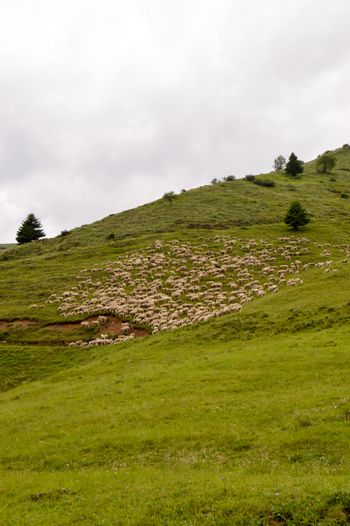 Herds of sheep in a green meadow on a hill of dolomites in Italy