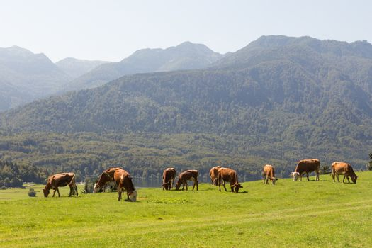 Livestock on meadow abowe Bohinj lake in slovenian alps with mountains in the background.