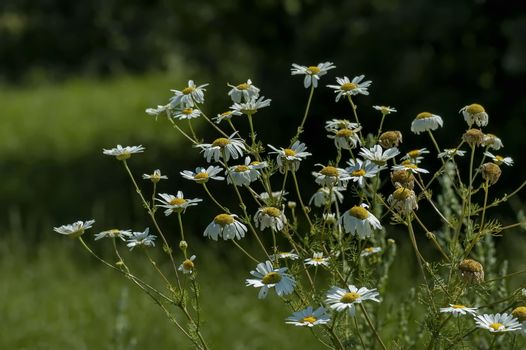 Twig of daisies  or camomile in the glade, Central Balkan mountain, Stara Planina