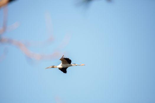Close to a full moon as a Wood stork Mycteria Americana flies