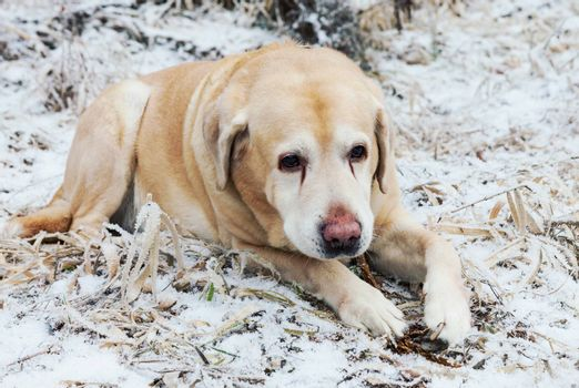 Old sad golden labrador retriever dog lying on frosty grass in cold winter day