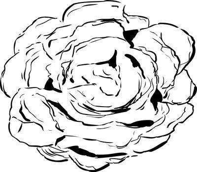 Outlined Bibb Lettuce Drawing