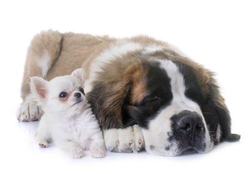 puppies chihuahua and saint bernard