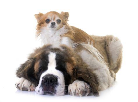puppy saint bernard and chihuahua