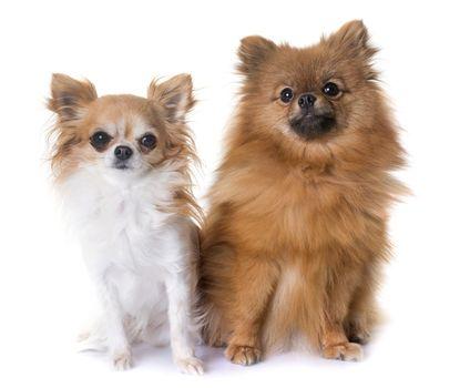 pomeranian spitz and chihuahua