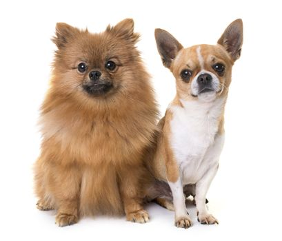 young chihuahua and spitz
