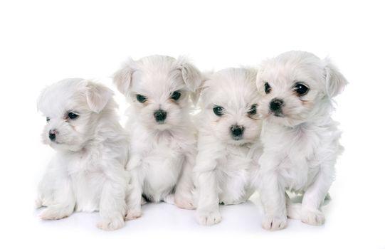puppies maltese dogs