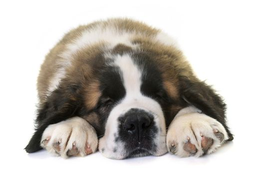 puppy saint bernard