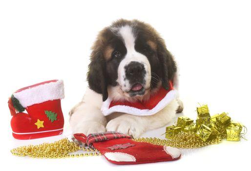 puppy saint bernard and christmas