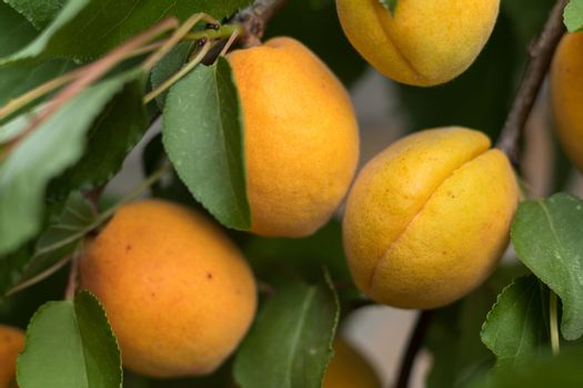 Fragrant ripe juicy apricots on a branch with green leaves