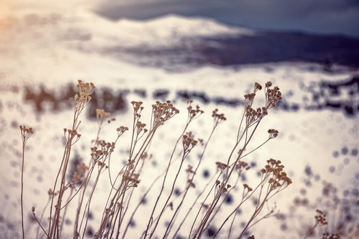 Dry wildflowers in the winter