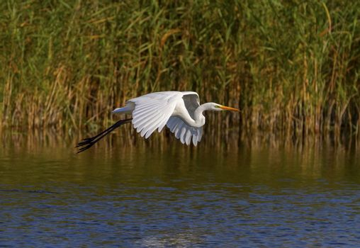 Great, common or large egret, ardea alba, flying upon a pond searching for food, Neuchatel lake, Switzerland