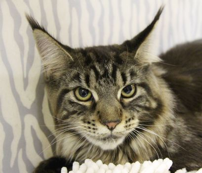 Tabby adult cat, domestic pet. Favorite pets in our homes.