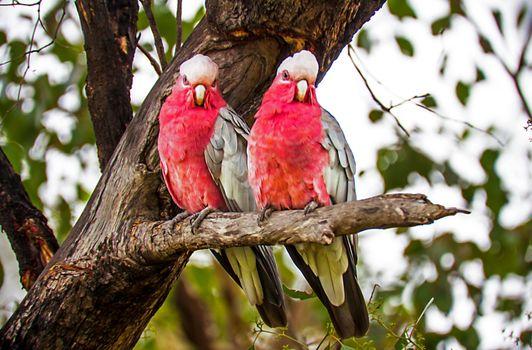 Rosacakadu at Argonauts Park in Trangie New South Wales Australi