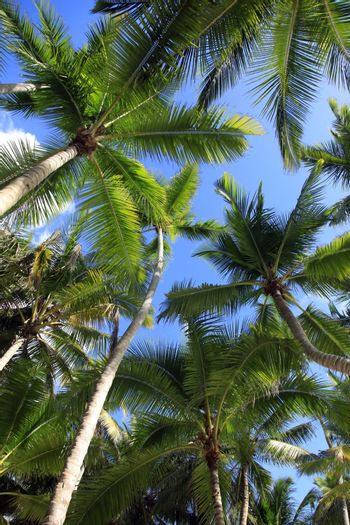 Bottom view of coconut palms. Saona island beach. Dominican Republic