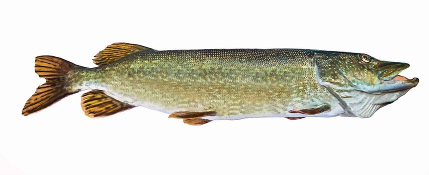A river pike with wide open mouth free