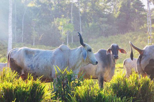Cow in Costa Rica