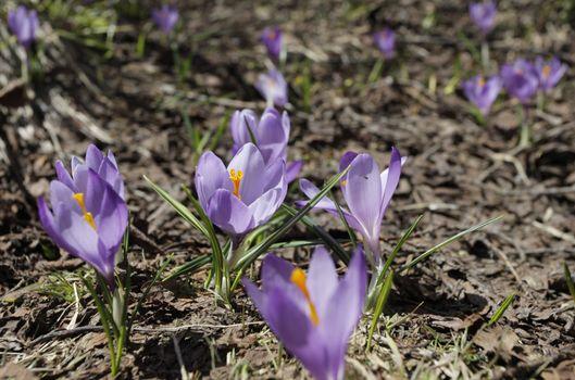 Spring Crocus (Crocus vernus) flowers close up on the ground
