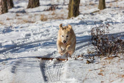 Retriever in winter forest