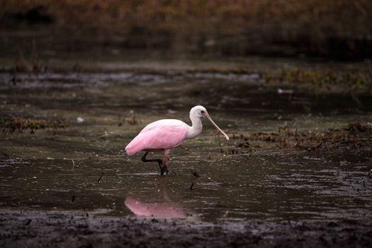 Roseate spoonbill waterfowl wading bird called Platalea ajaja