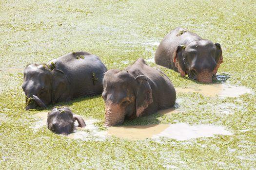 Maha Oya, Asian elephants - Sri Lanka