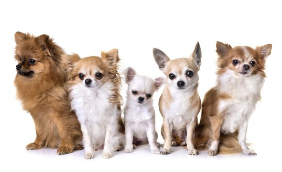 group of chihuahua and spitz