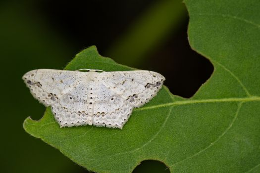Image of Pointed Flatwing Butterfly(Moth) on green leaves. Insec